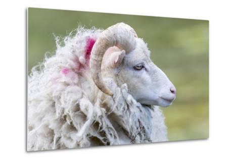 Foula Sheep on the Island of Foula. Shetland Islands, Scotland-Martin Zwick-Metal Print