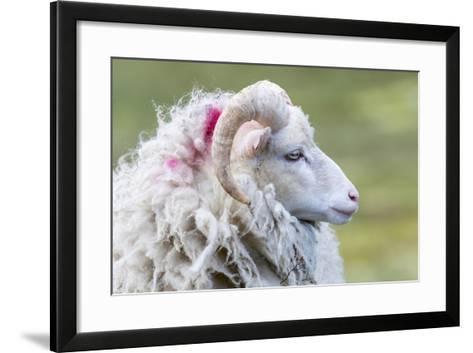 Foula Sheep on the Island of Foula. Shetland Islands, Scotland-Martin Zwick-Framed Art Print
