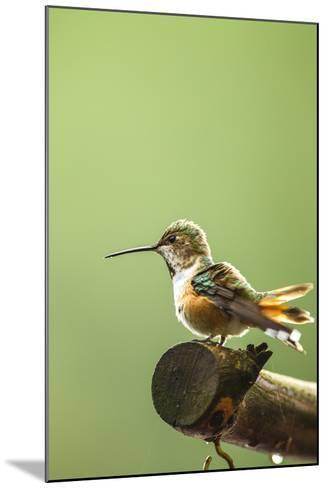 North Fork Flathead River. Calliope Hummingbird Perched-Michael Qualls-Mounted Photographic Print