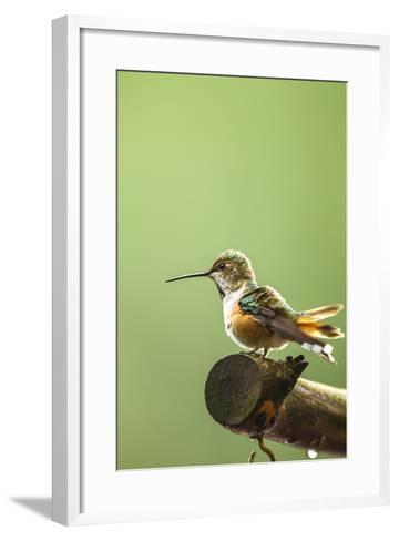North Fork Flathead River. Calliope Hummingbird Perched-Michael Qualls-Framed Art Print