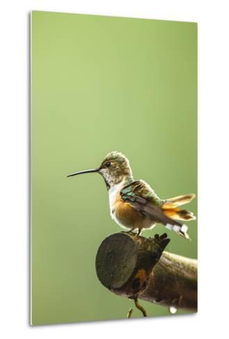 North Fork Flathead River. Calliope Hummingbird Perched-Michael Qualls-Metal Print