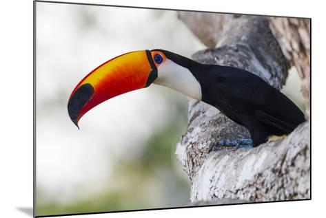 Brazil, Mato Grosso, the Pantanal, Toco Toucan on a Tree Limb-Ellen Goff-Mounted Photographic Print