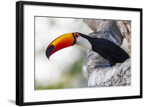 Brazil, Mato Grosso, the Pantanal, Toco Toucan on a Tree Limb-Ellen Goff-Framed Art Print
