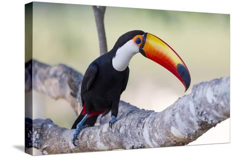 Brazil, Mato Grosso, the Pantanal. Toco Toucan on a Tree Limb-Ellen Goff-Stretched Canvas Print