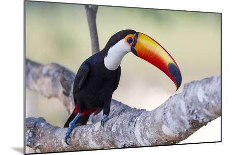 Brazil, Mato Grosso, the Pantanal. Toco Toucan on a Tree Limb-Ellen Goff-Mounted Photographic Print