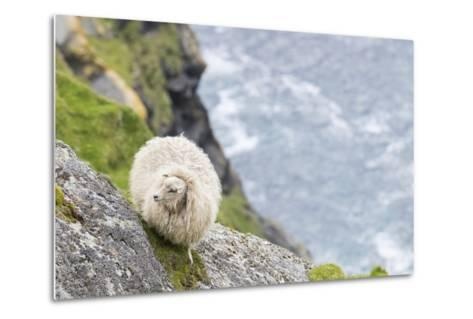 Shetland Sheep at the Cliffs of the Hermaness Nature Reserve, Unst, Shetland Islands, Scotland-Martin Zwick-Metal Print