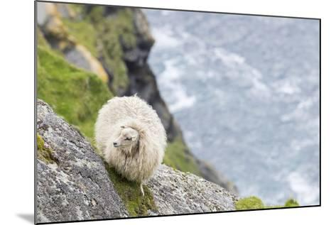 Shetland Sheep at the Cliffs of the Hermaness Nature Reserve, Unst, Shetland Islands, Scotland-Martin Zwick-Mounted Photographic Print