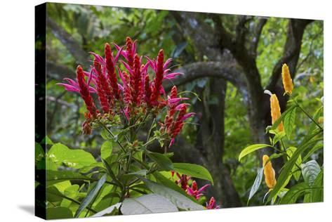 Forest Blooms, Asa Wright Natural Area, Trinidad-Ken Archer-Stretched Canvas Print