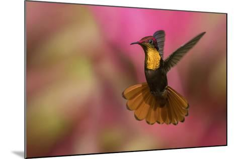 Ruby Topaz Hummingbird-Ken Archer-Mounted Photographic Print