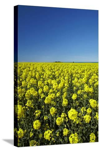 Rapeseed Field, Near Timaru, South Canterbury, South Island, New Zealand-David Wall-Stretched Canvas Print