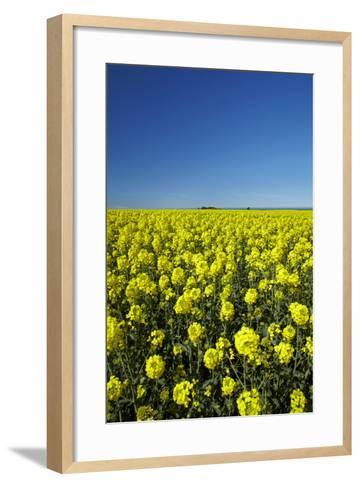 Rapeseed Field, Near Timaru, South Canterbury, South Island, New Zealand-David Wall-Framed Art Print