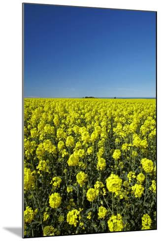 Rapeseed Field, Near Timaru, South Canterbury, South Island, New Zealand-David Wall-Mounted Photographic Print