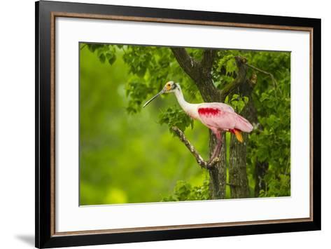 Louisiana, Jefferson Island. Roseate Spoonbill on Limb-Jaynes Gallery-Framed Art Print