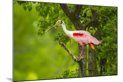 Louisiana, Jefferson Island. Roseate Spoonbill on Limb-Jaynes Gallery-Mounted Photographic Print