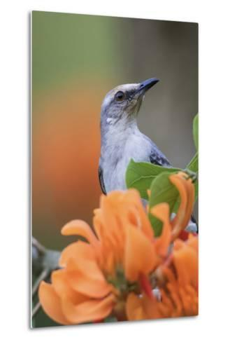 Tropical Mockingbird-Ken Archer-Metal Print