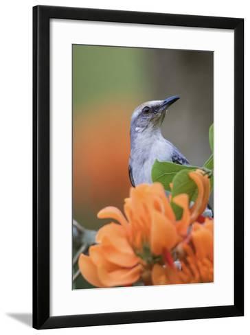 Tropical Mockingbird-Ken Archer-Framed Art Print