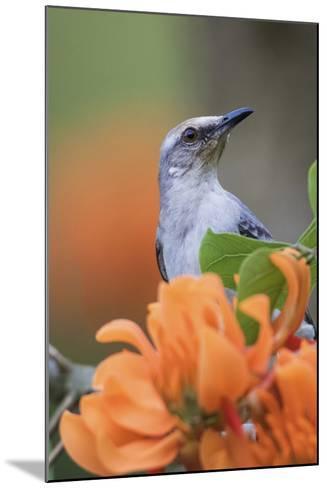 Tropical Mockingbird-Ken Archer-Mounted Photographic Print