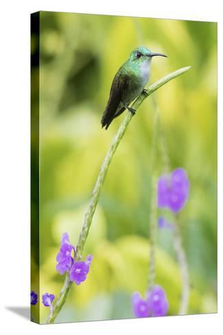 White-Chested Emerald-Ken Archer-Stretched Canvas Print
