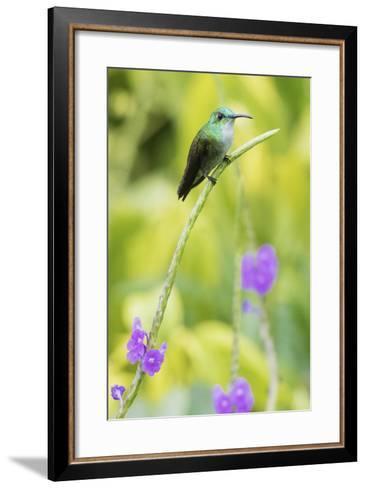 White-Chested Emerald-Ken Archer-Framed Art Print