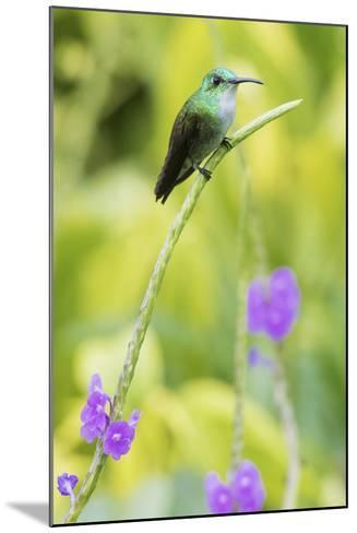 White-Chested Emerald-Ken Archer-Mounted Photographic Print