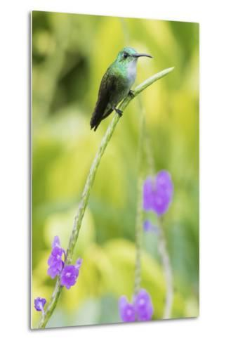 White-Chested Emerald-Ken Archer-Metal Print