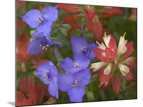 Close-Up of Spiderwort and Paintbrushes, Texas, Usa-Tim Fitzharris-Mounted Photographic Print