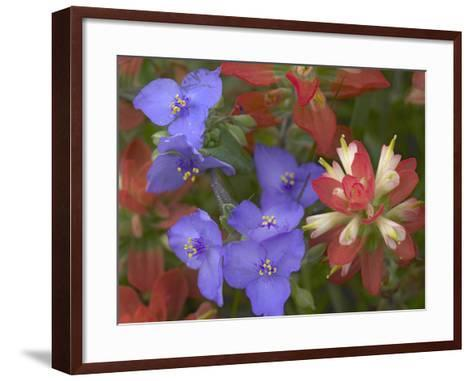 Close-Up of Spiderwort and Paintbrushes, Texas, Usa-Tim Fitzharris-Framed Art Print