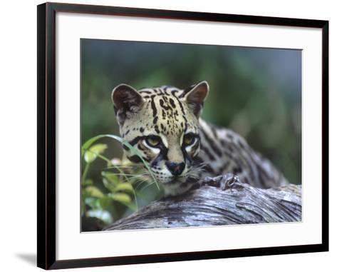 Ocelot, Montana, Usa-Tim Fitzharris-Framed Art Print