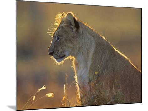 African Lion Cub in the Golden Light, Kenya, Africa-Tim Fitzharris-Mounted Photographic Print
