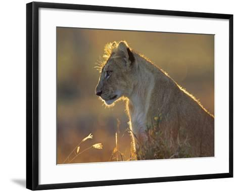 African Lion Cub in the Golden Light, Kenya, Africa-Tim Fitzharris-Framed Art Print