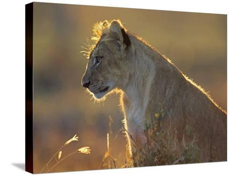 African Lion Cub in the Golden Light, Kenya, Africa-Tim Fitzharris-Stretched Canvas Print