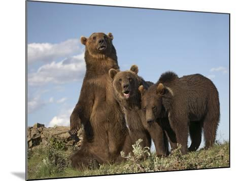 Grizzly Bear Sitting with Her Cubs, Montana, Usa-Tim Fitzharris-Mounted Photographic Print