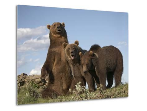 Grizzly Bear Sitting with Her Cubs, Montana, Usa-Tim Fitzharris-Metal Print