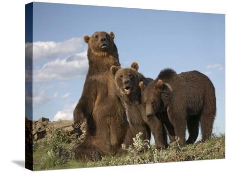 Grizzly Bear Sitting with Her Cubs, Montana, Usa-Tim Fitzharris-Stretched Canvas Print