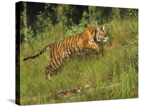 Siberian Tiger Running. Montana, Usa-Tim Fitzharris-Stretched Canvas Print