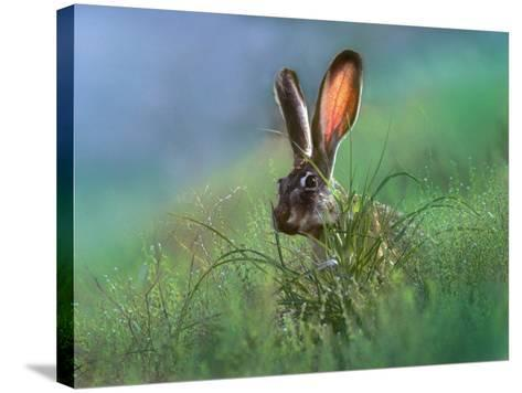 Blacktail Jackrabbit, New Mexico, Usa-Tim Fitzharris-Stretched Canvas Print