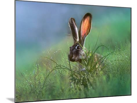 Blacktail Jackrabbit, New Mexico, Usa-Tim Fitzharris-Mounted Photographic Print