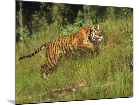 Siberian Tiger Running. Montana, Usa-Tim Fitzharris-Mounted Photographic Print