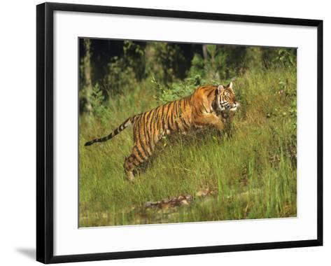Siberian Tiger Running. Montana, Usa-Tim Fitzharris-Framed Art Print