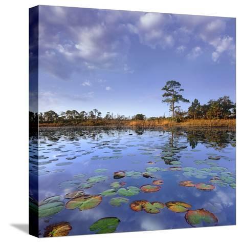 Pond Lilies, Jonathan Dickinson State Park, Florida, Usa-Tim Fitzharris-Stretched Canvas Print