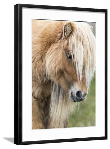 Shetland Pony on the Island of Foula, Part of the Shetland Islands in Scotland-Martin Zwick-Framed Art Print