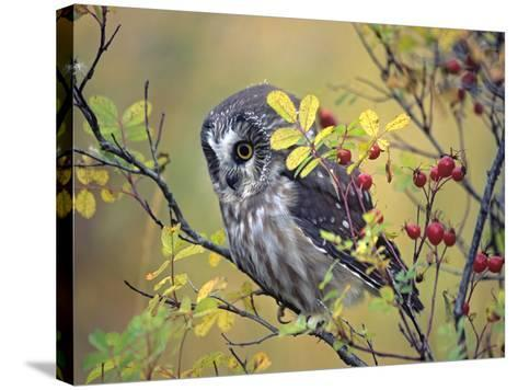 Northern Saw-Whet Owl, British Columbia, Canada-Tim Fitzharris-Stretched Canvas Print