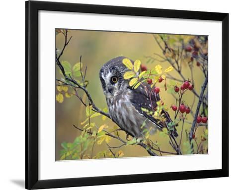 Northern Saw-Whet Owl, British Columbia, Canada-Tim Fitzharris-Framed Art Print