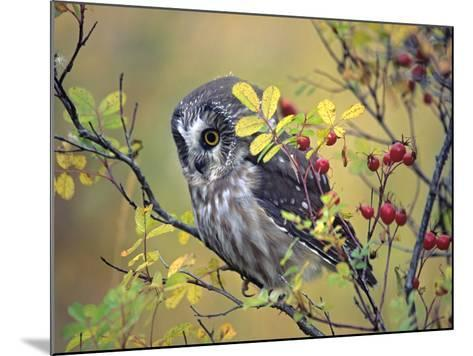 Northern Saw-Whet Owl, British Columbia, Canada-Tim Fitzharris-Mounted Photographic Print