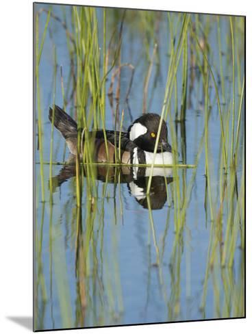 Hooded Merganser, Lophodytes Cucullatus, Viera Wetlands, Florida, Usa-Maresa Pryor-Mounted Photographic Print