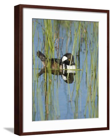 Hooded Merganser, Lophodytes Cucullatus, Viera Wetlands, Florida, Usa-Maresa Pryor-Framed Art Print