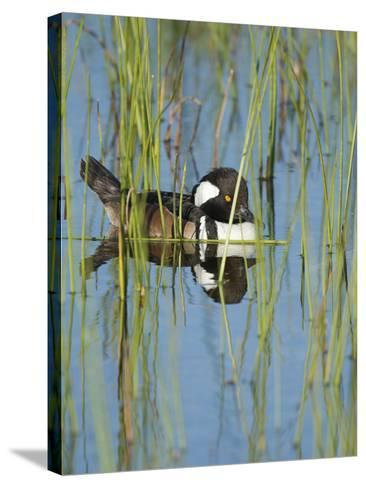 Hooded Merganser, Lophodytes Cucullatus, Viera Wetlands, Florida, Usa-Maresa Pryor-Stretched Canvas Print