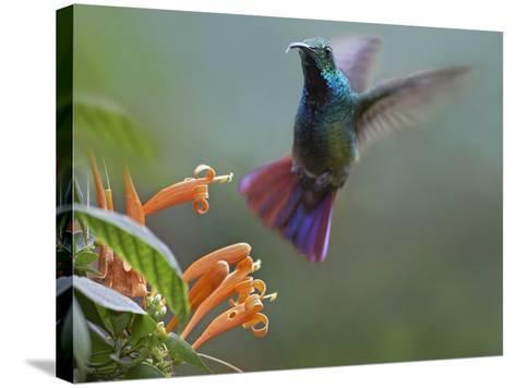 Green-Breasted Mango Hummingbird at Flame Vine, Costa Rica-Tim Fitzharris-Stretched Canvas Print