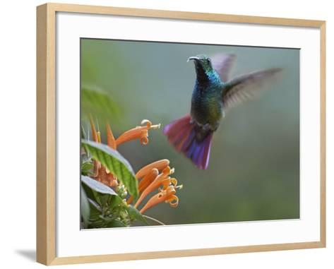 Green-Breasted Mango Hummingbird at Flame Vine, Costa Rica-Tim Fitzharris-Framed Art Print