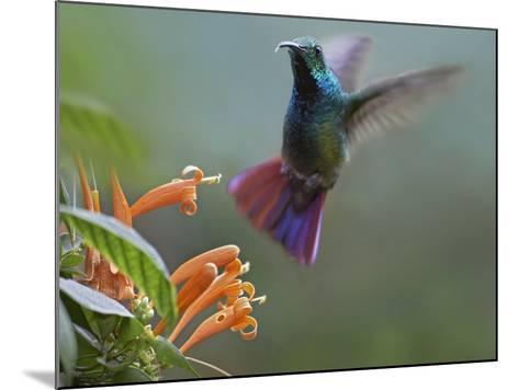 Green-Breasted Mango Hummingbird at Flame Vine, Costa Rica-Tim Fitzharris-Mounted Photographic Print